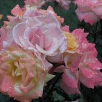 薔薇は嵐山、最後のドライブ