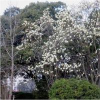 モクレン咲き・日ノ出の.おかめ桜   17・3月20日