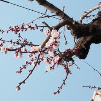 目を開けると窓辺で寝たまま見える杏の花。梅の花から杏の花へ。 今年も見ることが出来た。次のステップに進もう。