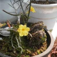 黄色い花たちが春を告げる