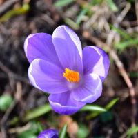 薄紫色のクロッカス