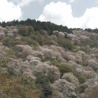 日本一の桜の名所 吉野お花見ツーリング