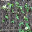 コレオプシス スタークラスター/珪藻土バスマット