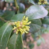 季節の花「黄楊 (つげ)」