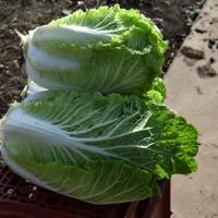 我が家の家庭菜園から白菜の初収穫です。 ほうれん草も収穫しました。