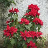 まだまだ咲き誇る花:ポインセチア