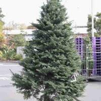 オレゴン産クリスマスツリー