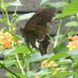 越後の紫陽花に雨蛙とランタナに黒アゲハ蝶