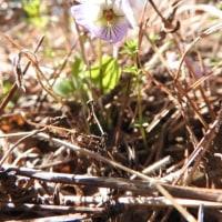 高ボッチ高原・鉢伏山で最近咲いている花 エゾアオイスミレ(蝦夷葵菫)