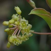 サルトリイバラの花も咲き始め