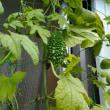 真夏のガーデニング  ~今日のお庭~