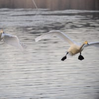 170131-0201_多々良沼と その周辺-7 <白鳥-1>