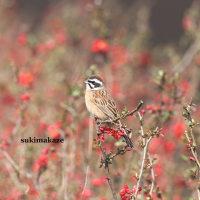 畑の鳥達 2