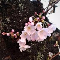 ひこばえ(櫱・孫生)(写真)