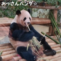 赤ちゃんパンダが可愛い(*^-^*)