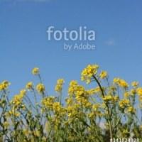 fotolia「青空と雲と菜の花」