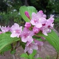 季節の花「谷空木 (たにうつぎ)」