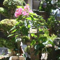 ブーゲンビリア の挿し木 大成功で、早くも一年目で、花盛りに
