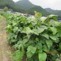 黒豆の枝豆収穫まっさかり