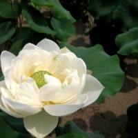 2007北京夏・今年も蓮の花が咲く♪
