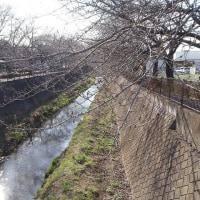 散歩道の桜の様子