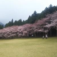 松阪市森林公園の桜。