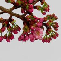 今年の陽光桜開花遅し