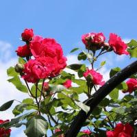 薔薇の写真撮影