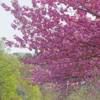 新緑と八重桜