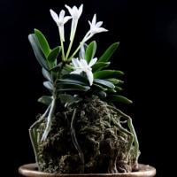 フウラン 山採り豆葉(九州産)
