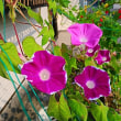 『季節の花』 朝顔
