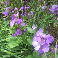 明月院の草花が満開 ムラサキハナナ、バイモ、クリロー