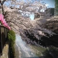 今年の桜 目黒川 目黒近所 自宅 下書きより