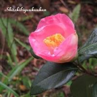 椿 *意宇の里* 一か月早い開花