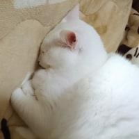 12月8日(木)のつぶやき 男の子ニャよ(ФωФ)ノ 白猫ミルコ @mirko_cat