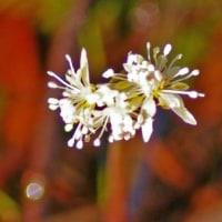 [#3523] 2月,3月に撮った花の写真(6)オウレン