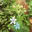 猛暑に咲いてるお花