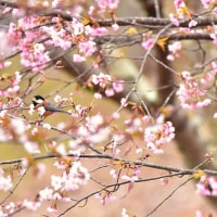 「さくらと遊ぶ」 福島県 三春 さくらの公園にて撮影! ヤマガラ