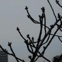 桜の蕾が膨らむ頃…