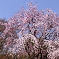 季節の花「枝垂桜(しだれさくら)」
