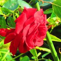 薔薇とジャーマンアイリス