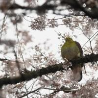 オオルリ ・ アオバト ・ カワガラス ・ コマドリ  04/16