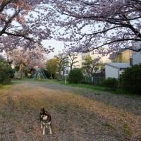 茶々と桜散歩