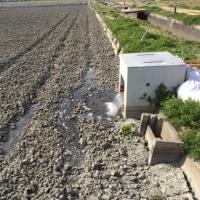 畦の簡易修理した田んぼ