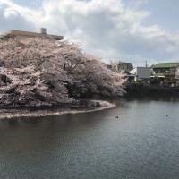 桜散る散る・・・クマクマ