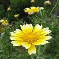 <シュンギク(春菊)> 菊に似た明るい黄花、白い覆輪のある花も