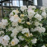 白いつるバラ2種