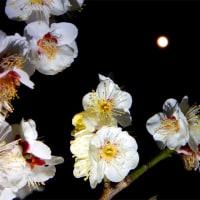 梅は満開、月は丸い