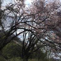 青空に浮かぶ山桜