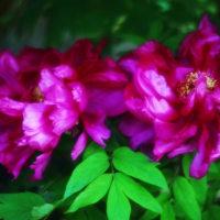 牡丹 (花 4181)